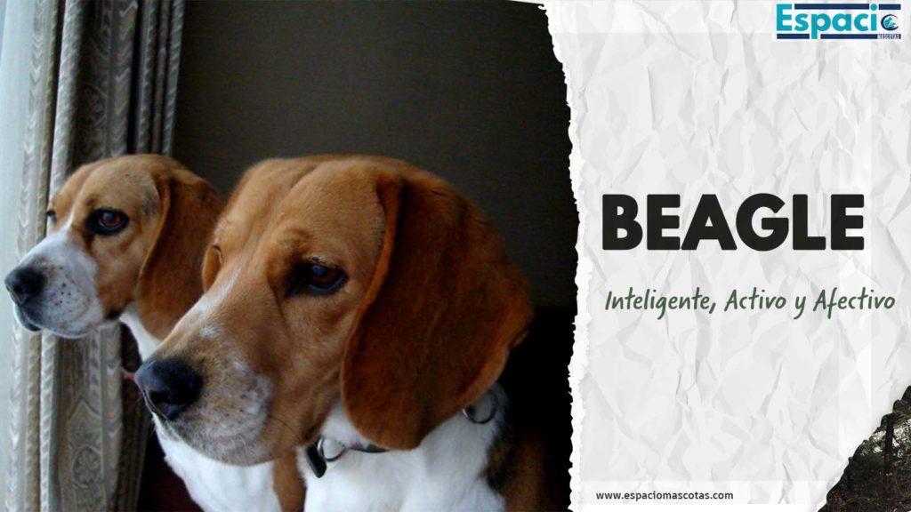Características y Cuidados de la raza beagle