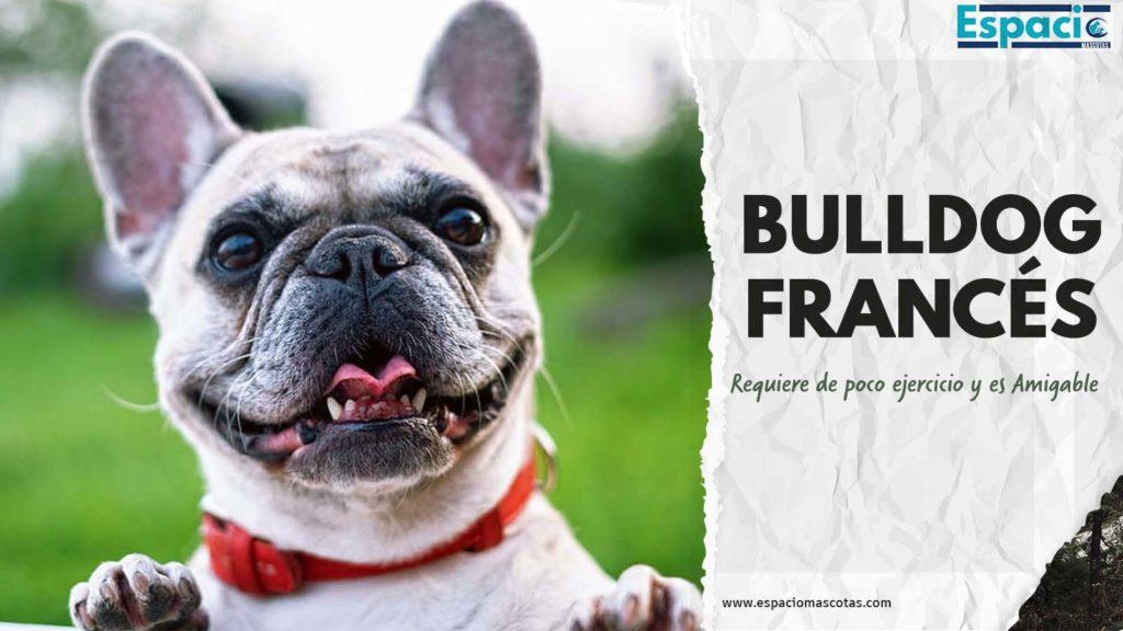 Características y Cuidados del Bulldog Francés