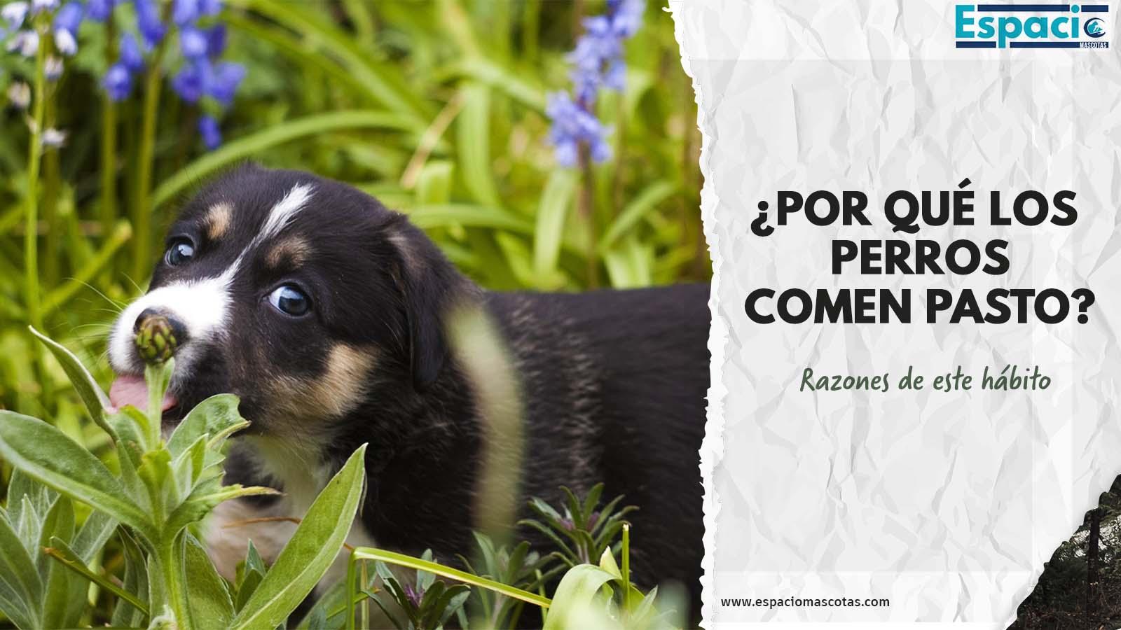 Conoce las razones por las que los perros comen hierba
