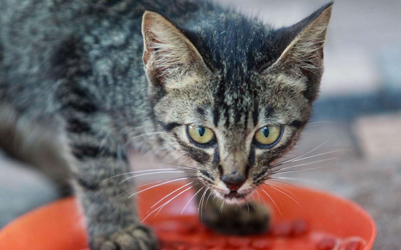 Puede el gato comer carne cruda-Descubre las razones por las que no