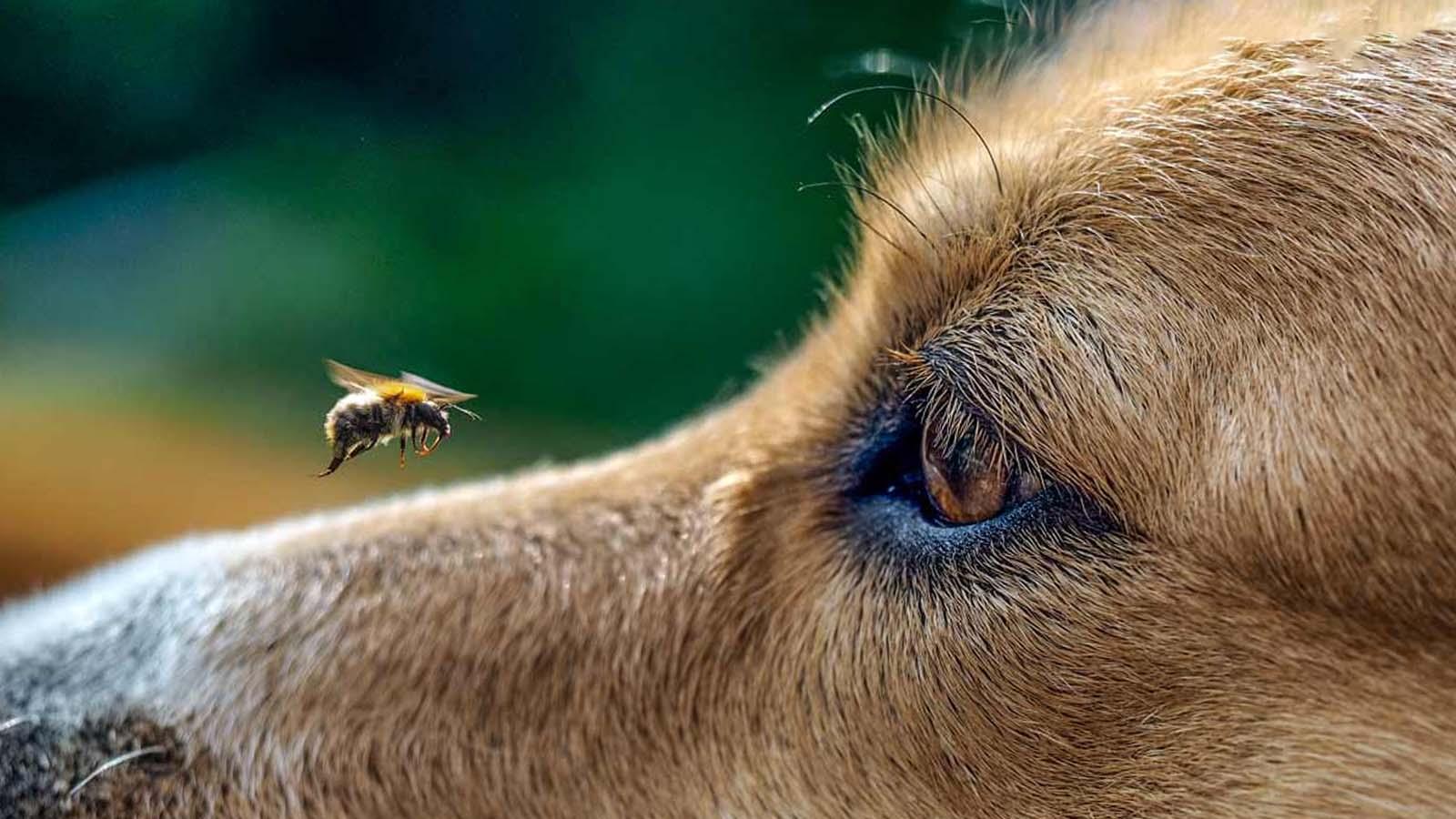 mi perro se comió una abeja